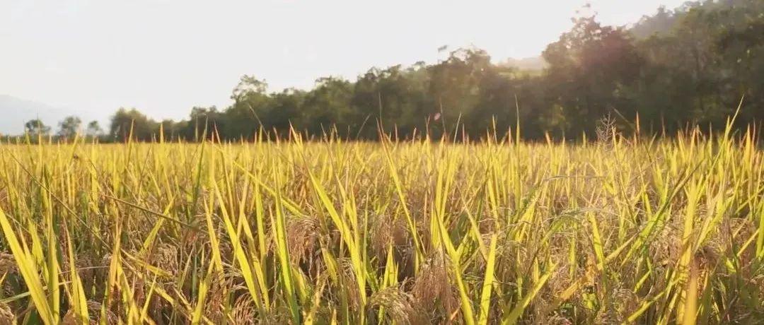 风吹稻谷香!莲都晚稻进入收割高峰期
